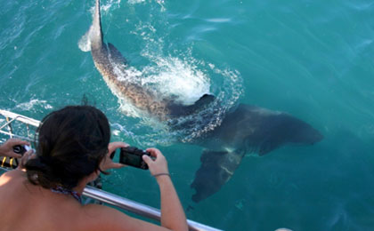 Marine Dynamics Academy volunteer photographing a great white shark