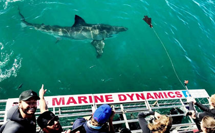 Marine Dynamics Academy volunteers working with great white sharks
