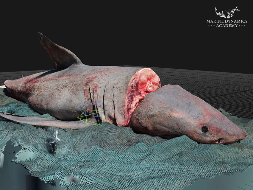 Great white shark 3D photogrammetry