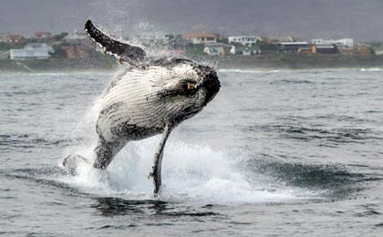 A whale breaches before one of our scientific interns