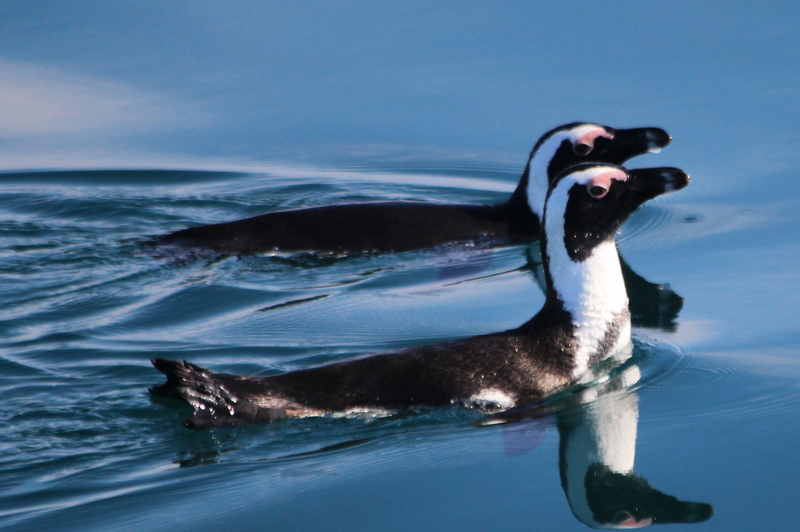 Are African Penguins Heading Towards Extinction?